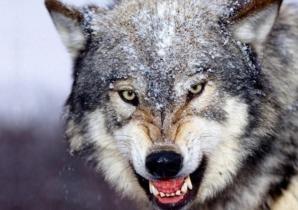 Как -волки -спасли- молодого -парня