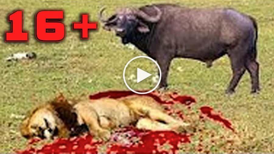10-сумшедших-битв-животных-снятых-на-камеру-1